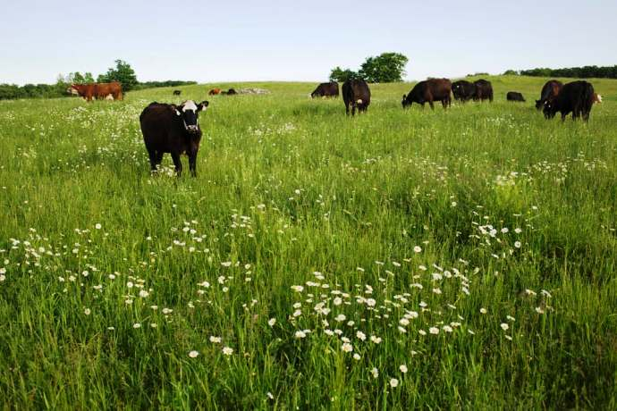 Cows Grazing On Pasture Land