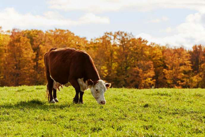 Hereford Cow Grazing